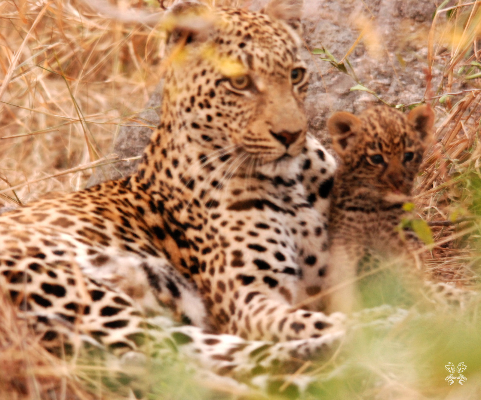 The Dudley Riverbank Female and one of her 3 week old cubs