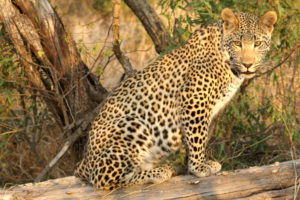 Young Mxabene Male Leopard