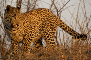 Mxabene Young Male Leopard