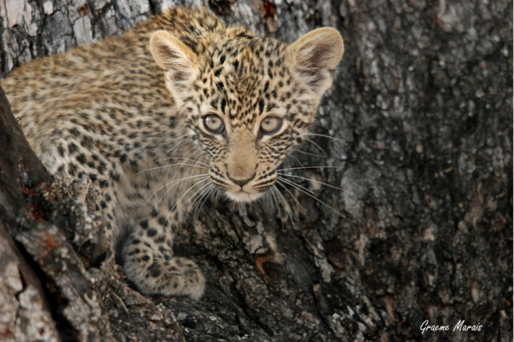 Nyeleti Female's Male Leopard Cub