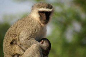Vervet monkey and new born
