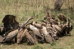 Vultures 5