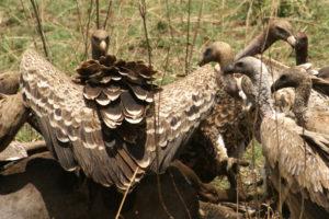 Vultures 3