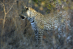 Maxabeni 3-2 Young Male Leopard