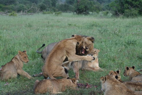 Lions fighting over food