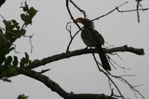 Yellowbilled Hornbill at Londolozi