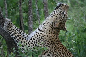 Leopard staring upwards at Londolozi