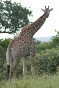 Giraffe at Londolozi