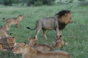 Pride of Lions at Londolozi