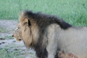 Black Maned Male Lion