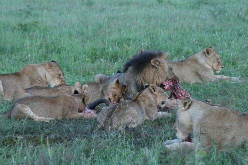 Lions eating at Londolozi