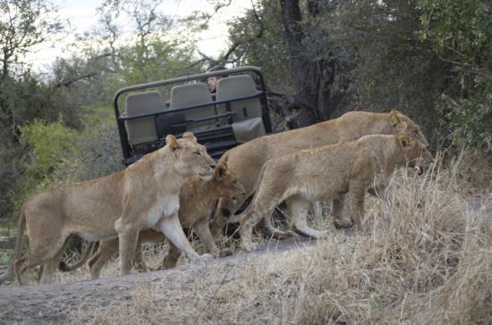 Lion Pride Londolozi