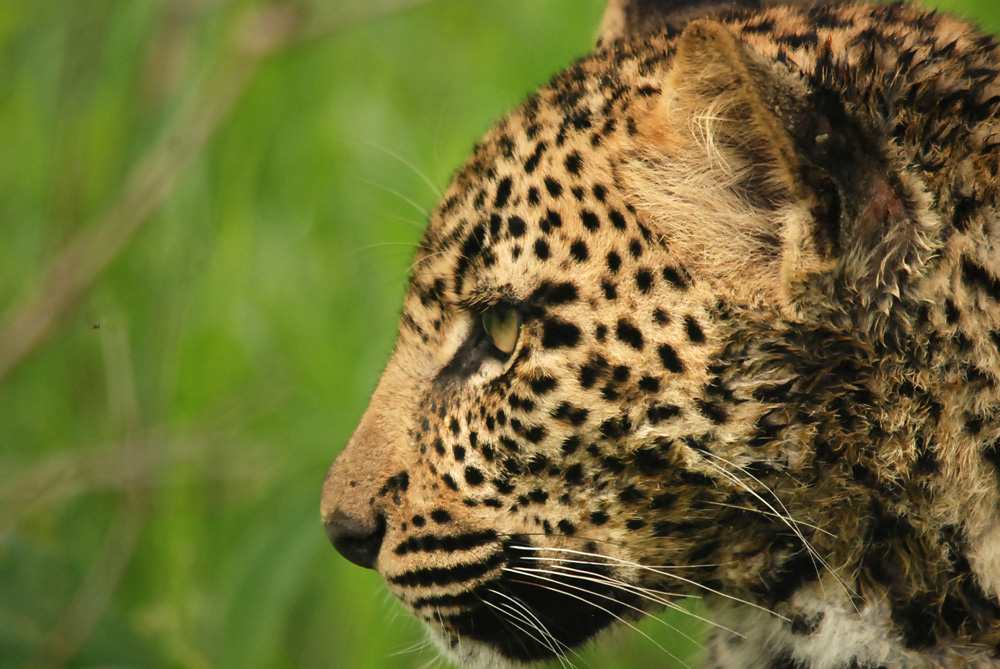 Leopard Cub Side Profile