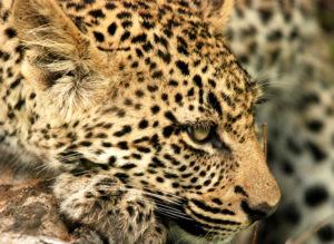 Leopard Cub Face Close UP