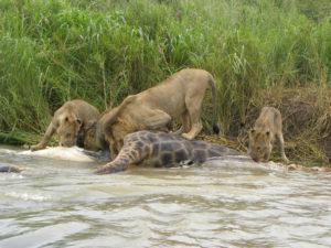 Lions eating giraffe