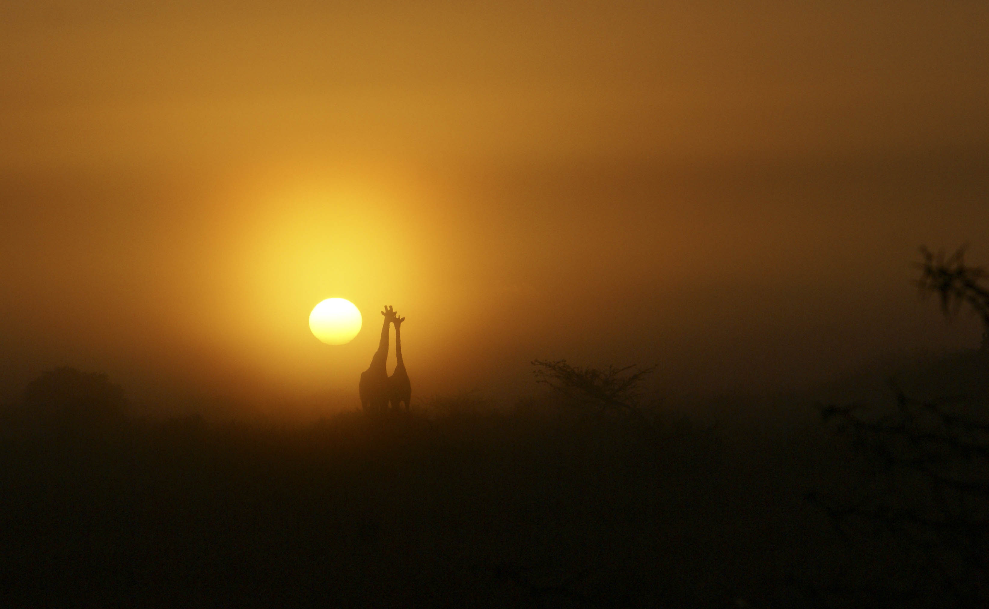 Giraffes necking at an African sunrise