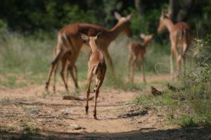 impala-lamb-jumping
