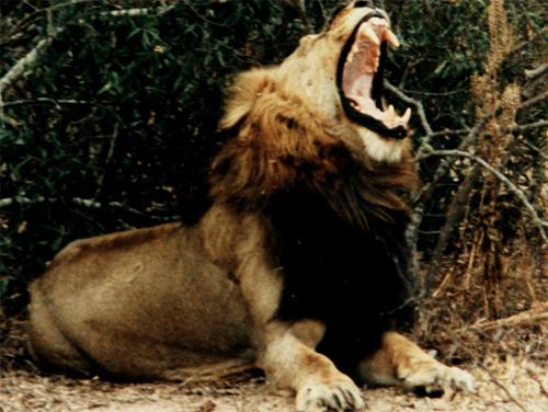 big_black_male_lion