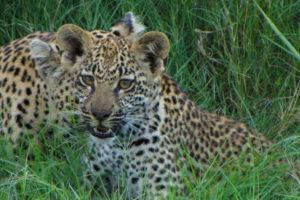 leopard_cub_at_londolozi