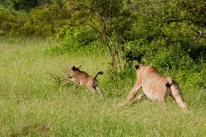 lion_chasing_wildebeest