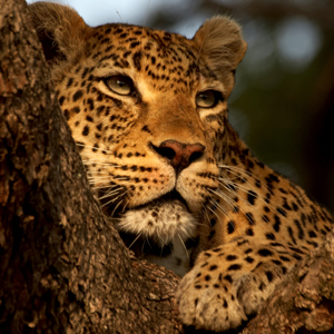 SunsetBend-Female-Leopard-sleepin-in-tree-at-Londolozi
