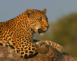 SunsetBend-Female-Leopard-at-Londolozi-Game-Reserve-Sabi-Sands