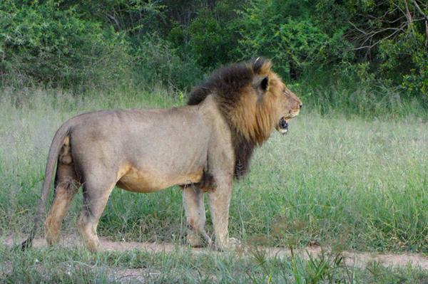 Mapogo Male Satan at Londolozi Game Reserve