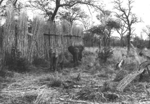 Elephant Calves in Boma