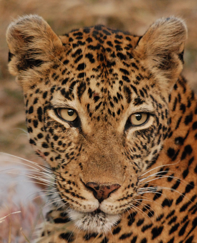 Vomba 3-2 Female Leopard Londolozi Game Reserve