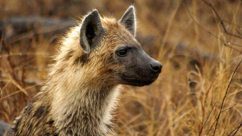 Hyena_Pup_Londolozi_game_reserve_rich_laburn