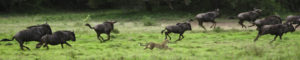 Cheetah chasing Wildebeest South Africa Safari Rich Laburn Photograph