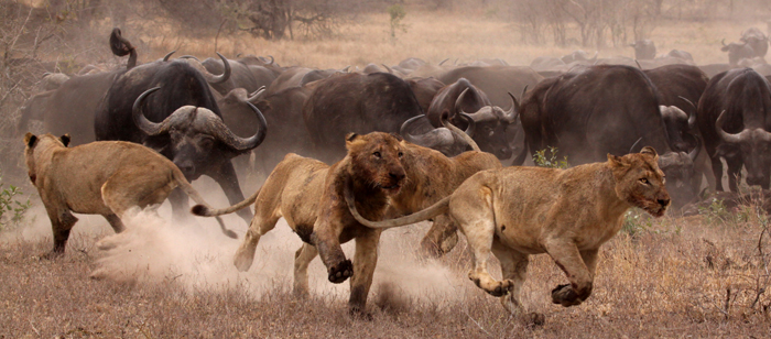 Lions chased off kill by buffalo