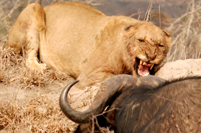 Lion growling at buffalo attacking