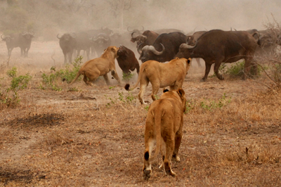 Lion killing buffalo with herd attacking