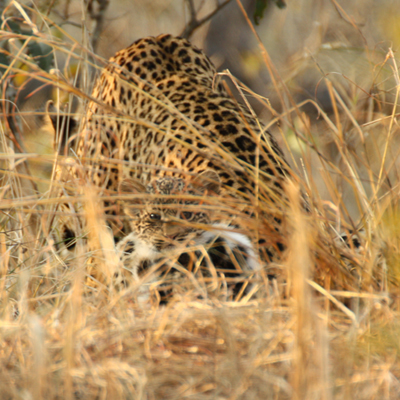 Tutlwa Female Leopard and Cub Looking through grass