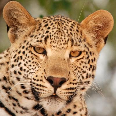 Maxabeni 3-3 Young Male Leopard
