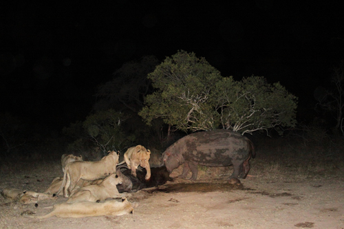 Hippo and lions feeding off the same carcass