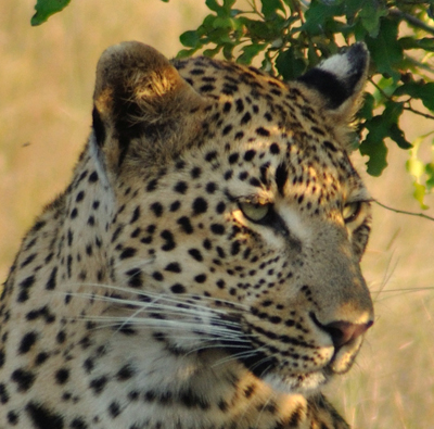 Tutlwa 4:3 Young Female Leopard