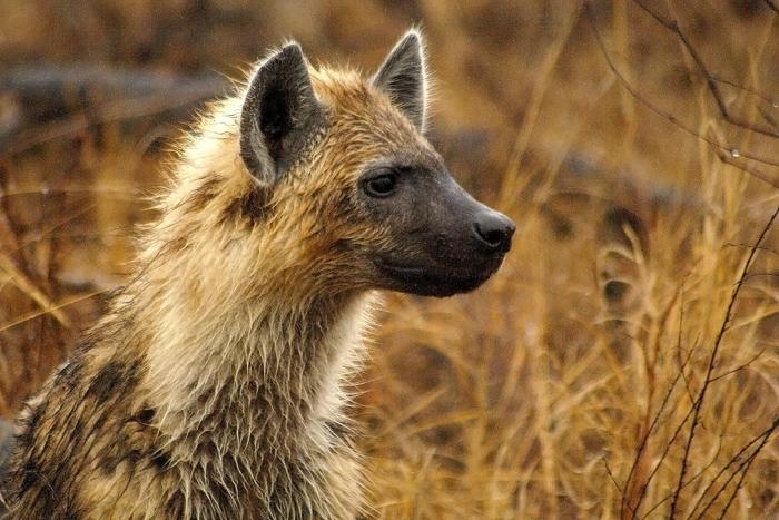 Hyena Cub at f5.6