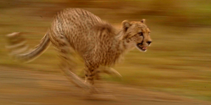 Panning Shot of Cheetah Running - 1/60s