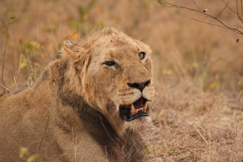 Why do male lions have manes londolozi blog 24 august 2010 adam bannister solutioingenieria Gallery