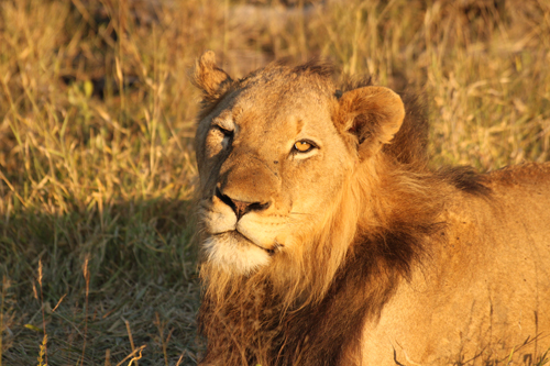 Why do male lions have manes londolozi blog 4 june 2010 adam bannister solutioingenieria Gallery