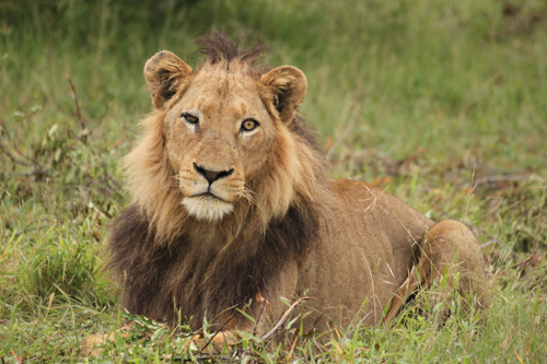 Why do male lions have manes londolozi blog 6 april 2010 adam bannister solutioingenieria Gallery