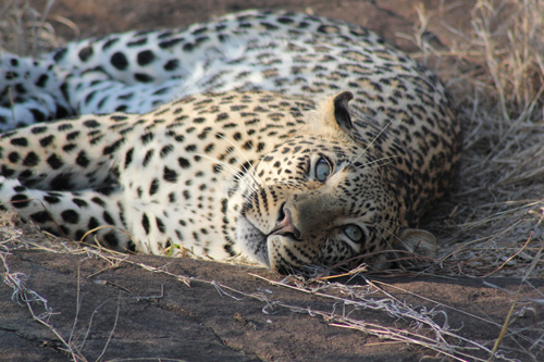 Maxabeni 3:3 Young Male Leopard by Beth Shak