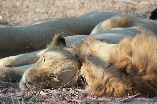 Londolozi Lions by Beth Shak