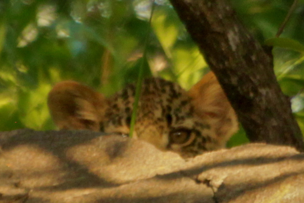 Leopard Cub Eyes at Londolozi