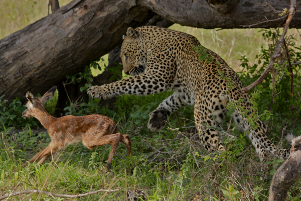 Nyelethi Female Leopard killing Impala Lamb