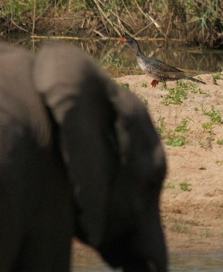 African Finfoot