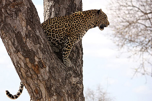 Leopard in tree post editing