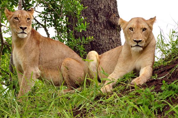 2 Sparta Lionesses